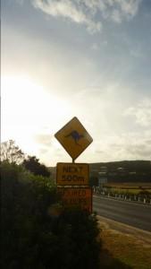 Attention Kangourou