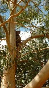 Koala dans le jardin