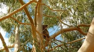 Un koala dans le jardin