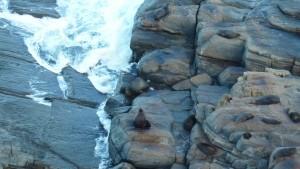 Quelques phoques de Nouvelle Zélande qui se la coulent douce