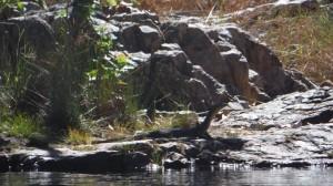 Goanna à Litchfield National Park