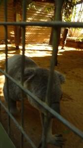 Koala affamé