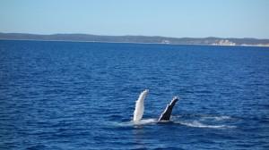 Baleine à Hervey Bay