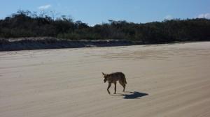 Dingo sur la plage à Fraser Island
