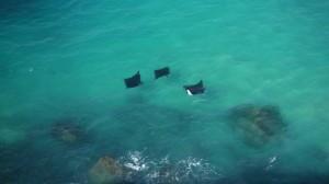 Raie Manta à Fraser Island